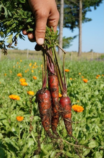 Natural Purple Carrot