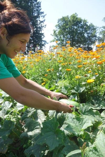 Récolte des concombres bio pour le masque